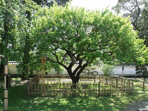烈公梅と名付けられた梅の木