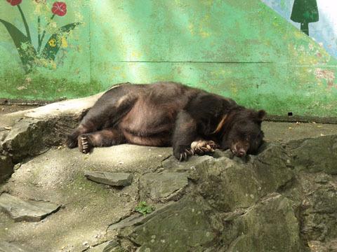 ツキノワグマはお昼寝中