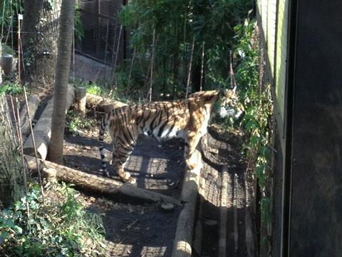 縞模様が立派なトラ