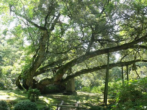 イチイの古木