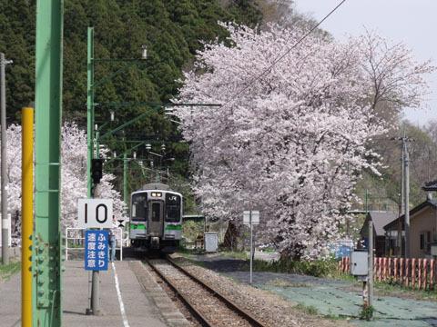 満開の桜の間から電車が到着