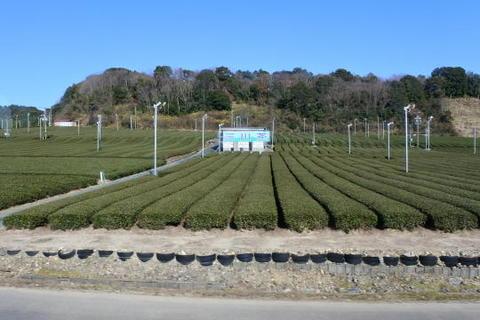 天浜線沿線でも茶の産地がある