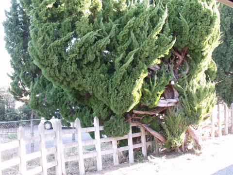 もの凄いうねっている樹形…