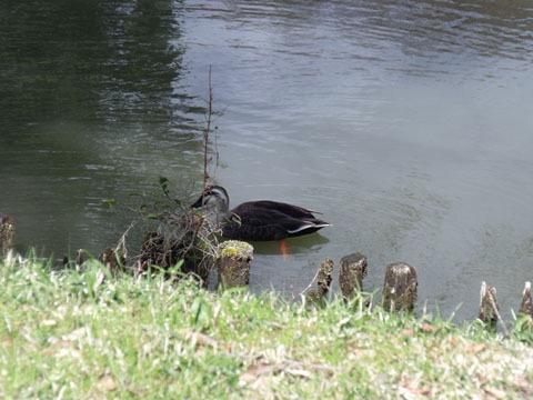 池内を泳ぐ鴨