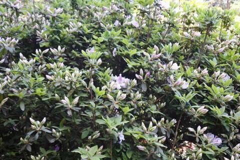 遅咲きのリュウキュウつツツジ系はまだつぼみの状態