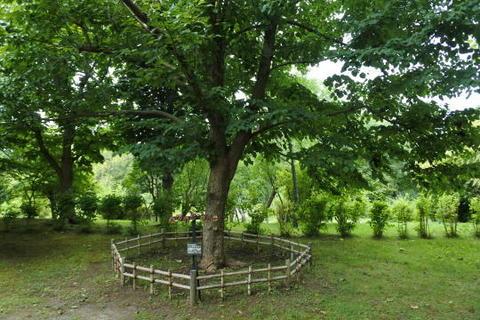 ハンカチツリー